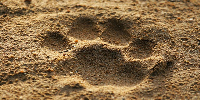 bobcat_track